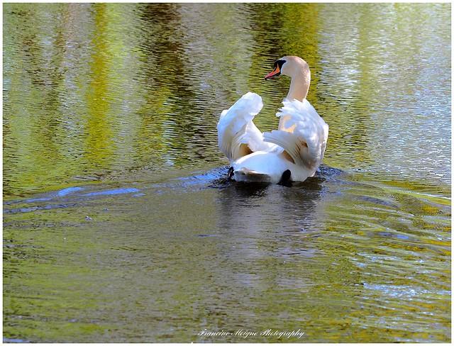 P4070109 - Le lac du cygne