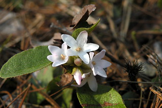 Epigaea repens (trailing-arbutus), West Greenwich, RI | by Doug_McGrady