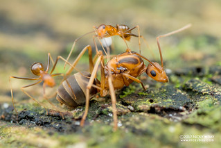Yellow crazy ants (Anoplolepis gracilipes) - DSC_4220