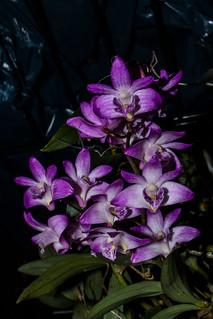 Dendrobium kingianum | by Markus Branse