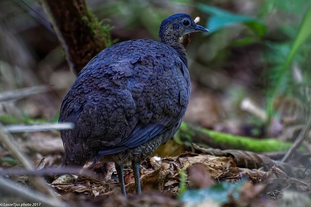 Great Tinamou (Tinamus major), Costa Rica