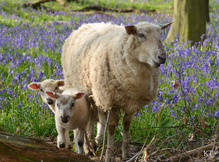 Bluebell family | by Carine06