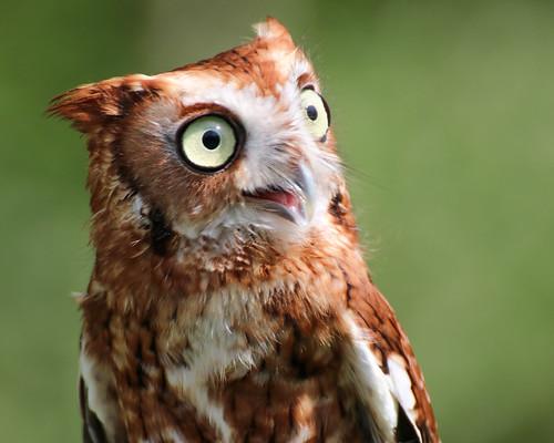 raptorinc-Screech Owl