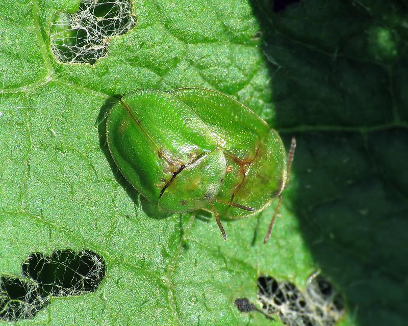 Thistle Tortoise Beetle - Cassida rubiginosa