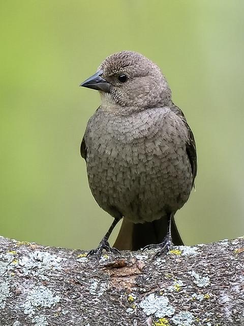 Vacher à tête brune --- Brown-headed cowbird ---  Vaquero cabecicafé