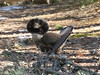 Ruffed Grouse (Bonasa umbellus) by Gerald (Wayne) Prout