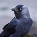 Eurasian Jackdaw - Photo (c) Claude Dopagne, some rights reserved (CC BY-NC-ND)