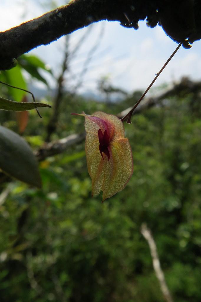 Lepanthes Leporina In Situ Shot Costa Rica Wiel Driessen Flickr
