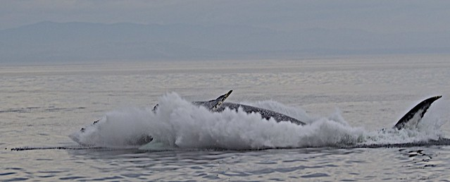 Humpback Whale Makes A Big Splash