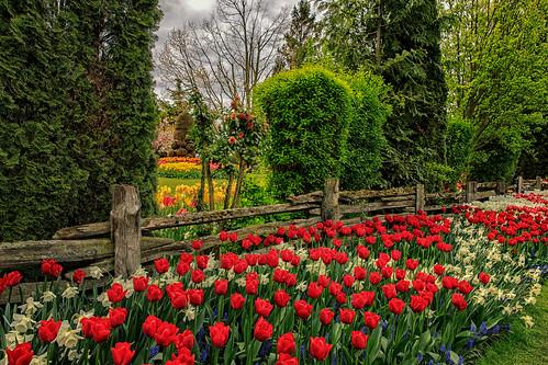 tulips tulipfestival roozengaarde skagitcounty hff