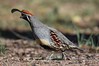 The Gambel's Quail (Callipepla gambelii) by mharoldsewell