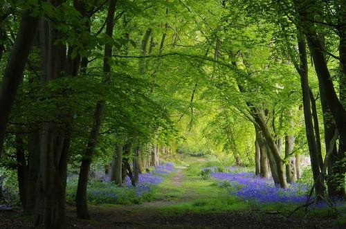 woods trees bluebells blue green nature path trail way arch light shropshire abbeywoods