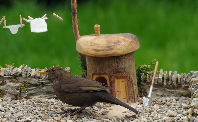 female black bird in model house yard  (1)