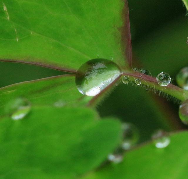 Raindrops on aquilegia leaves