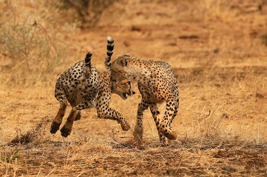 Cheetahs playing at Mashatu game reserve - Botswana