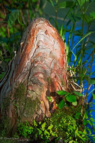 meadowlark closeup cypresstrees sunrise vienna virginia unitedstates us