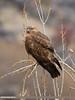 Long-legged Buzzard (Buteo rufinus) by gilgit2