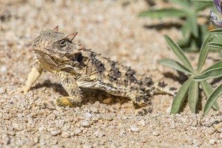 Blainville's Horned Lizard | by Jeremy Wright Photography