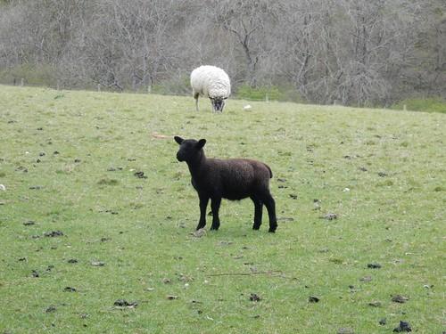 Black lamb Hever to Ashurst
