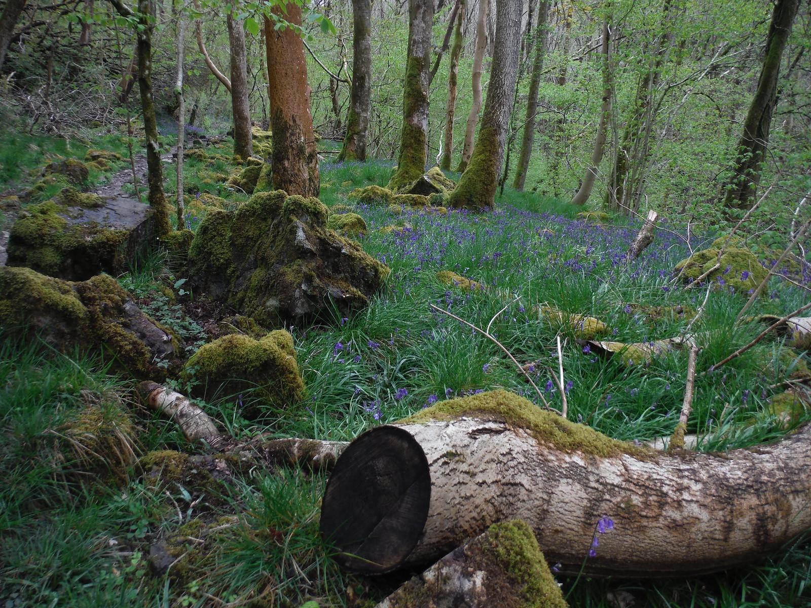 Bluebells in Nant Llech SWC Walk 280 Henrhyd Falls - Sgwd Henrhyd (Craig y Nos Circular)