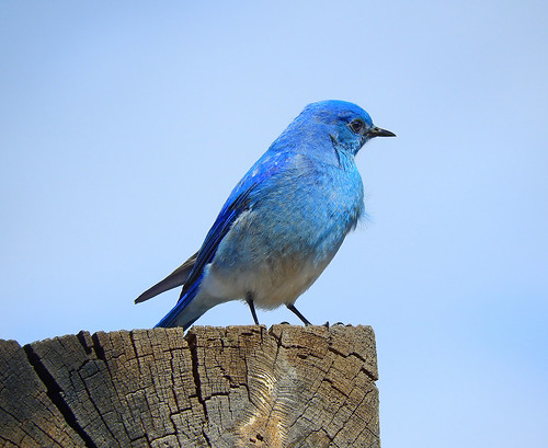 --Bluebird-Mtn-Male-NM-Pecos | by Tricolor Brian