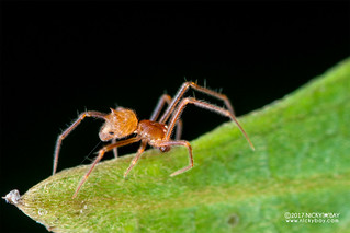 Three-horned comb-footed spider (Molione triacantha) - DSC_4427