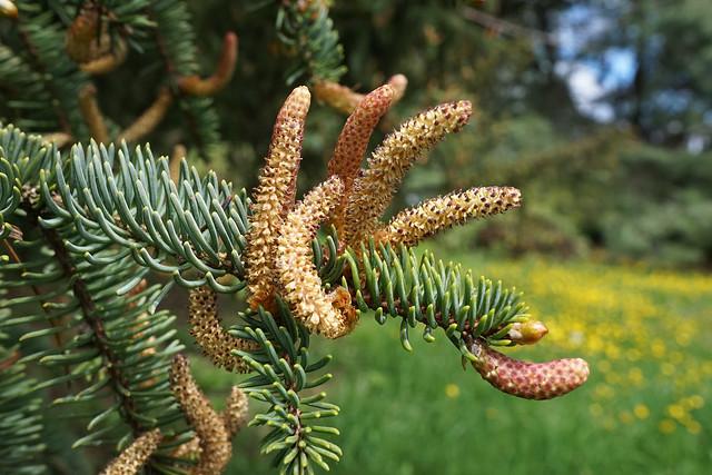 Picea koyamai (Koyama Spruce)