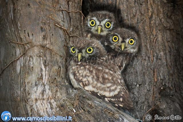 Little Owl - Civette (Athene noctua)