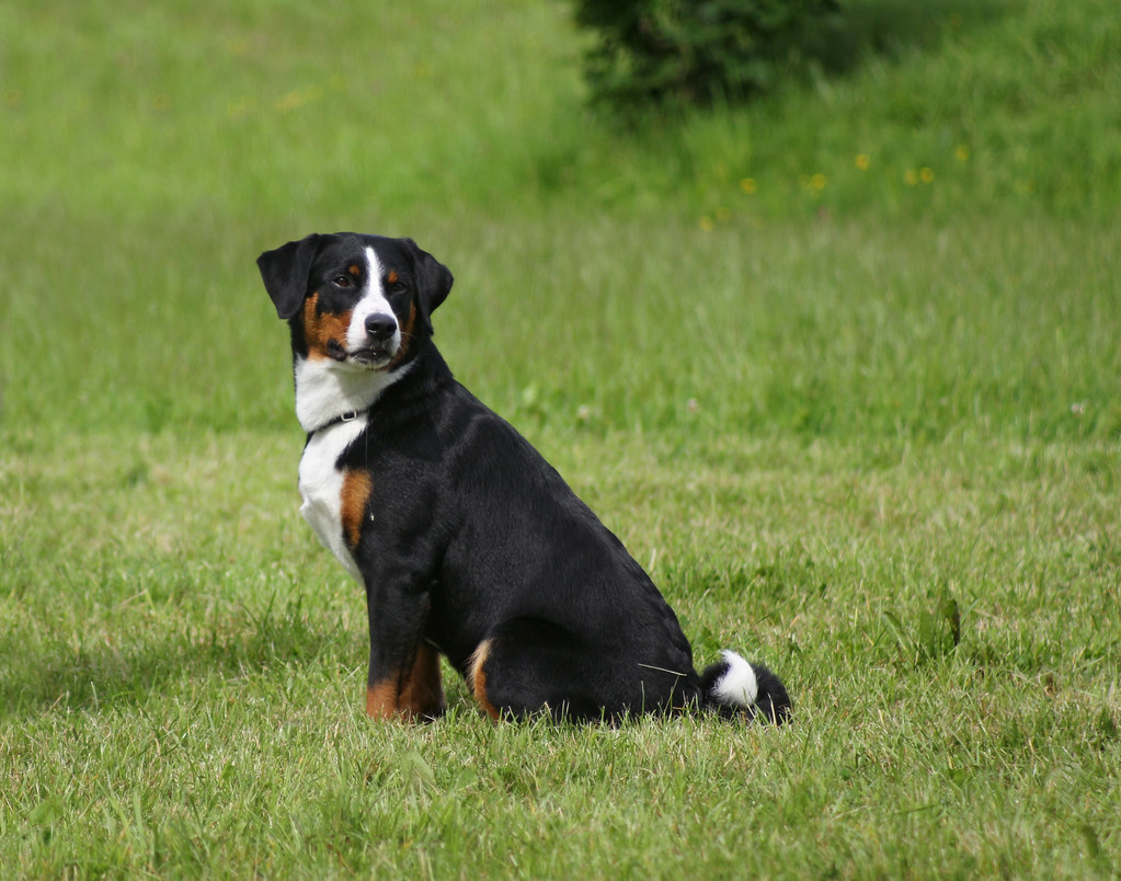 Appenzeller Mountain Dog At Dog Show An Appenzeller During