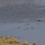 Waterfowl in Pelican Valley