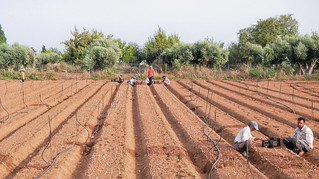 Immigrant field workers planting onion