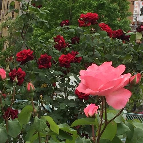 バラが咲いた | by eyawlk60