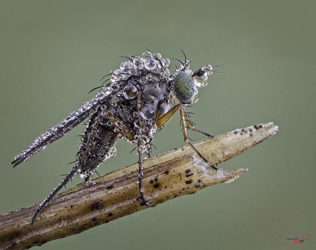 Mosquitosaurio