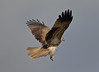 Whistling Kite Haliastur sphenurus by Neil Cheshire