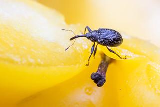 Anthonomus eugenii (pepper weevil)
