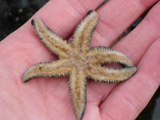Six armed sea star - Leptasterias hexactis | by lverhegge