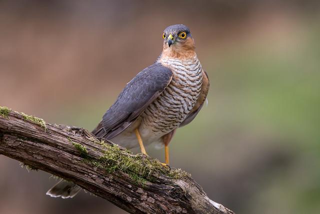 Sparrowhawk (Male)
