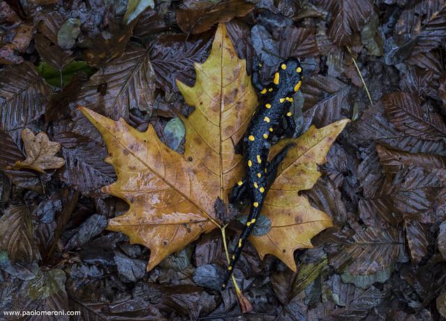 salamandra pezzata - www.paolomeroni.com