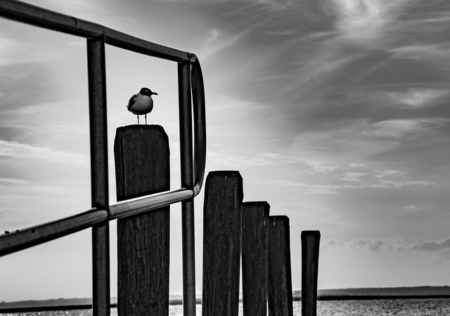 Seagull standing on piling