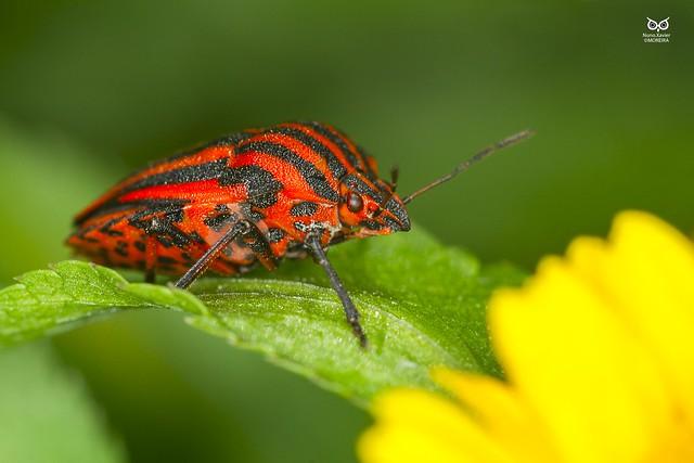 Percevejo das riscas, Striped Shield Bug (Graphosoma lineatum italicum)