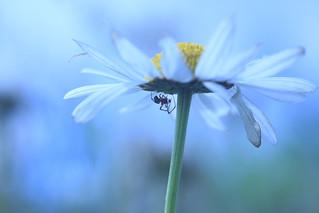 Spider & Moon Daisy  flower, Ian Wade