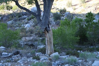 0754 A large cottonwood tree out in the middle of the wash shows signs of damage from flash flooding | by _JFR_