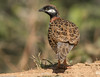 Black francolin #179 by Ramakrishnan R - my experiments with light