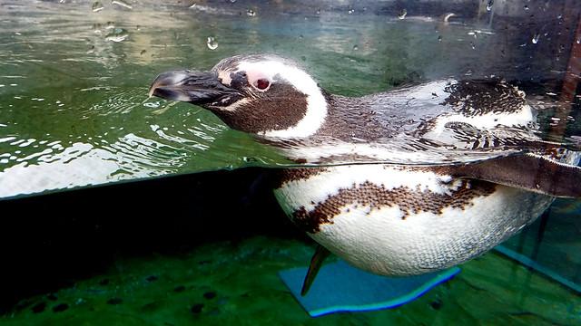 Magellianic Penguin