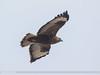 Common Buzzard (Buteo buteo) by gilgit2