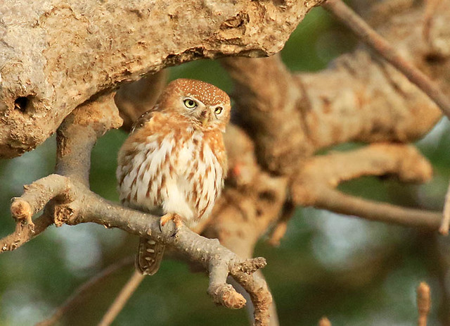 Pearl-spotted owlet - Senegal