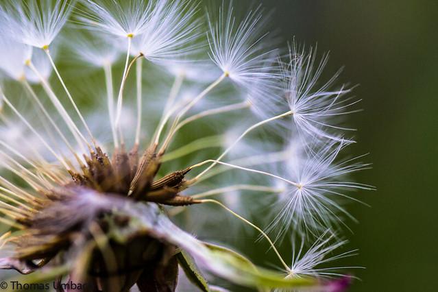 Pusteblume/ Dandelion