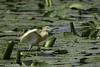 Squacco heron by Luigi131160