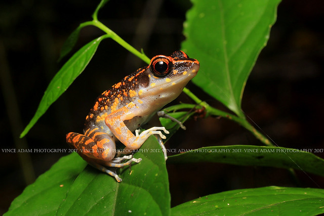 IMG_4435(W) Spotted stream frog (Hylarana/Pulcharana picturata)