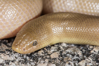 Southern Rubber Boa | by Jeremy Wright Photography